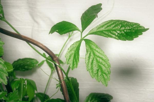 Gynostemma_herb